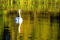 Swan - Hamlin Lake, Ludington State Park, Michigan