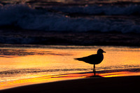 Seagull Silhouette - 5th Ave Beach Manistee Michigan