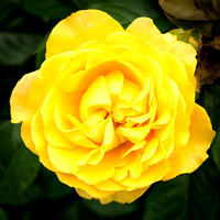 Yellow Rose of Indiana